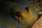Israel, Eilat, Red Sea, - Underwater photograph of a bluespotted ribbontail ray (Taeniura lymma)