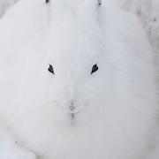 Arctic Hare (Lepus arcticus) In winter white camouflage. Canada