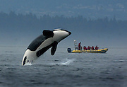A transient orca breaches while feeding off of Stuart Island as whale watchers from Canada get their money's worth. (Steve Ringman / The Seattle Times)