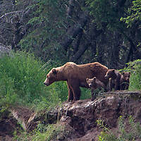 USA, Alaska, Katmai. Grizzly Sow and first year cubs.