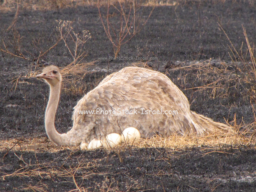 Ostrich nest (Struthio camelus) on the ground. The eggs can be seen in the foreground. Photographed in Tanzania
