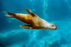 California sea lion, Zalophus californianus, East Pacific Ocean (c)