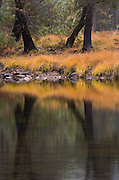 Tree trunks and fall colors make a interesting refection in the Merced River in Yosemite Valley.