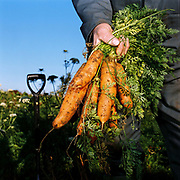 Vegetable grower Doug Stark holding bunch of freshly dug carrots, Coulton, North Yorkshire, UK. Doug sells his vegetables from a wall outside his house and  at local farmers markets. Coulton village is in the Howardian Hills AONB, a landscape with well-wooded rolling countryside, patchwork of arable and pasture fields, scenic villages and historic country houses with classic parkland landscapes.