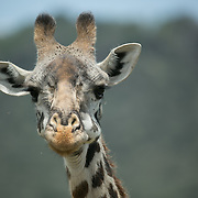 """Giraffe in Kenya.<br /> <br /> For all details about sizes, paper and pricing starting at $85, click """"Add to Cart"""" below."""