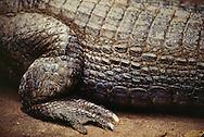 Black Caiman, Melanosuchus niger, Amazonas, Brazil
