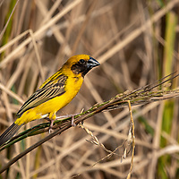 The Asian golden weaver (Ploceus hypoxanthus) is a species of bird in the family Ploceidae. It is found in Cambodia, Indonesia, Laos, Myanmar, Thailand, and Vietnam. Its natural habitats are subtropical or tropical seasonally wet or flooded lowland grassland, swamps, and arable land. It is threatened by habitat loss.