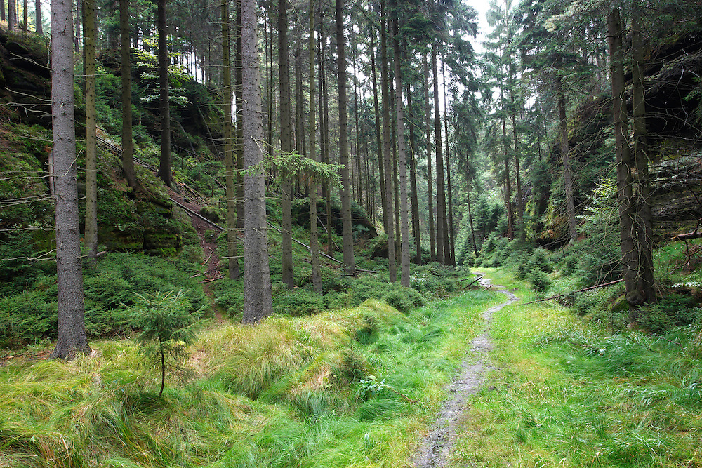 FOREST. PICEA ABIES. NORWAY SPURCE.<br /> KRINICE RIVER. KYOV. CESKE SVYCARSKO. CZECH REPUBLIC.