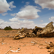 Animal carcass, one of thousands that litter this drought-stricken area. Off the road from Garissa to Wajir, North Eastern Kenya.