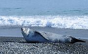A Leopard Seal (Hydrurga leptonyx) lies on the beach near a King Penguin (Aptenodytes patagonicus) nesting colony. Salisbury Plain, Bay of Isles, South Georgia. 19Feb16