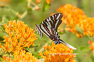 03006-00602 Zebra Swallowtail (Protographium marcellus) on Butterfly Milkweed (Asclepias tuberosa) Marion Co. IL