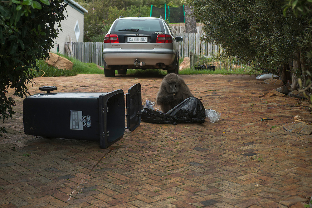 Chacma baboon (Papio ursinus) going through trash<br /> Noordhoek<br /> Western Cape<br /> SOUTH AFRICA