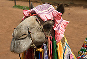 India, Rajasthan, chittorgarh the fort decorated camel