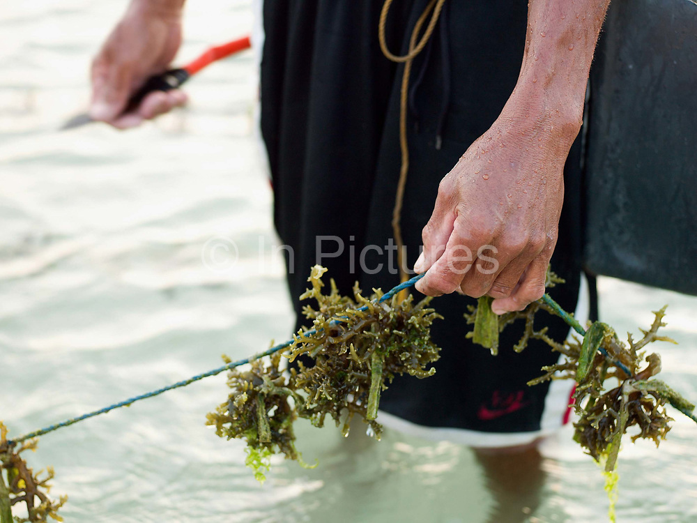 Imilio Cena (54) seaweed farmer cleaning the seaweed of algae by hand, Tamiao, Bantayan Island, The Philippines. Seaweed is fast growing and can be harvested in 1-2 months. The seaweed is then dried and sold to local buyers and a commercial processing plant in Cebu, where it is turned into powder; a high value product used by many industries including cosmetics and food. Before Typhoon Haiyan, Bantayan Island was the largest seaweed producer in Cebu province. The typhoon destroyed seaweed farms leaving over 2000 farmers without essential equipment and seedlings. Oxfam awarded cash grants to around 700 families to finance the purchase of seaweed seedlings and farming equipment including ropes, poles and floaters.
