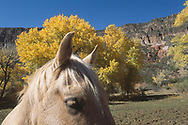 Horse eyes and ears, autumn cottonwoods, meadow, and cliffs of Jemez Canyon, Jemez Mountains, New Mexico, © David A. Ponton