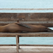 Galapagos Sea Lion (Zalophus californianus) Laying on a bench near waterfront. Galapagos, Ecuador.