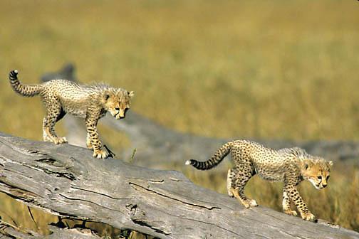 Cheetah, (Acinonyx jubatus) Cubs playing on log. Serengeti Plains. Masai Mara National Reserve. Kenya. Africa.