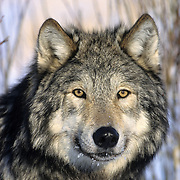 Gray Wolf (Canis lupus) portrait of an adult during the winter in Montana. Captive Animal