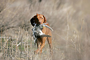 SHOT 4/10/05 12:49:25 AM - Tanner, a one year-old male Vizsla, hunts for the first time at the Bluffs Hunt Club in Byers, Co. The Vizsla is a dog breed originating in Hungary, which belongs under the FCI group 7. The Hungarian or Magyar Vizsla are sporting dogs and loyal companions, in addition to being the smallest of the all-round pointer-retriever breeds. (Photo by Marc Piscotty / © 2005)