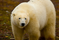 Polar bear on the tundra near Hudson Bay, near Churchill, Manitoba, Canada