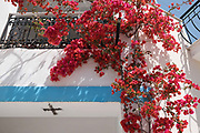 Bougainvillea, Ithaca, Greece.. Ithaca, Greece. The Greek island is situated in the Ionian Sea off the northeast coast of Kefalonia. Since antiquity, Ithaca has been identified as the home of the mythological hero Odysseus.