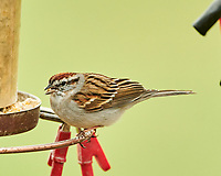 Chipping Sparrow (Spizella passerina). Image taken with a Nikon D850 camera and  500 mm f/4 VR lens.