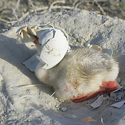 West Indian Flamingo (Phoenicopterus ruber) chick with an eggshell on its head. Bahamas