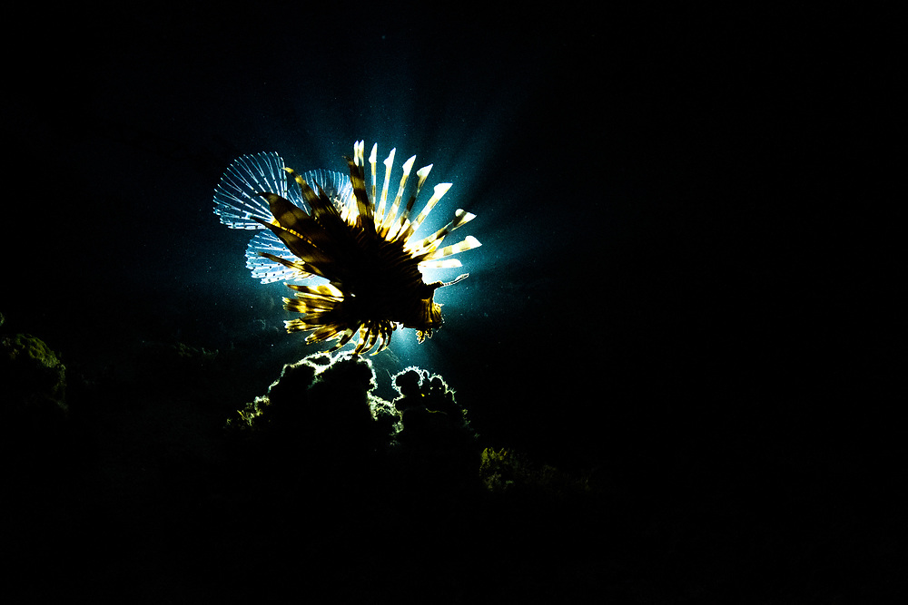 An invasive lionfish (Pterois volitans) hunting at night off Eleuthera Island, Bahamas.