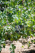 Israel, Lower Galilee, Tabor Winery, ripening Petit Syrah grape on the vines two weeks before picking July 2008