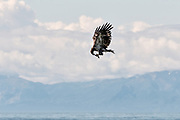 A juvenile bald eagle nibbles on fish scraps while flying past the Chigmit Mountains along the beach on the Cook Inlet at Anchor Point, Alaska.