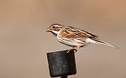 Female reed bunting with mealworm at a feeding station