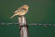 Grasshopper Sparrow - Ammodramus savannarum