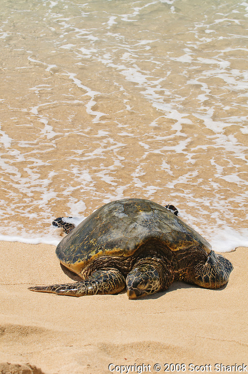 A Hawaiian Green Sea Turtle rests in the sand of a Hawaiian beach as the ocean water approaches the shore.