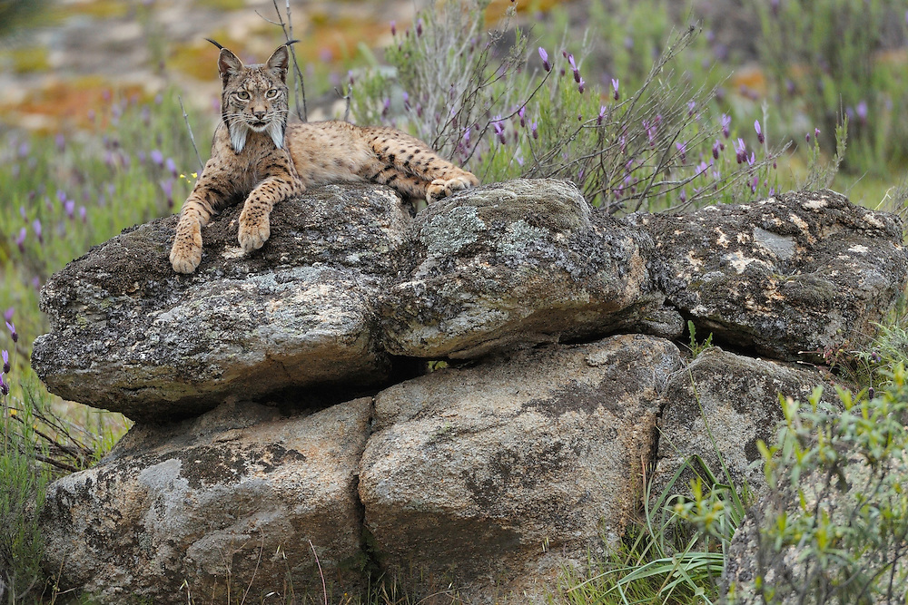 Iberian Lynx (Lynx pardinus) female.Sierra de Andújar Natural Park, Mediterranean woodland of Sierra Morena, north east Jaén Province, Andalusia. SPAIN.RANGE: Iberian Penninsula of Spain & Portugal..CITES 1, CRITICAL - DANGER OF EXTINCTION.Fewer than 200 animals in the wild. There is a reduced genetic variability due to their small population. They have suffered due to hunting, habitat loss and road accidents, but the most critical threat today is the reduced numbers of wild Rabbits (Oryctolagus cuniculus) within the lynx's range. The rabbits are the principal food source of the lynx and they are suffering from deseases such as Myxomatosis & Rabbit haemoragic virus. The lynx is also suffering from deseases such as feline leukaemia.A medium sized cat weighing 12-15kgs, Body length 90cm, Shoulder height 45-50cm. They have a mottled fur pattern, (3 varieties of fur pattern found between the different populations and distinguishing them geographically)  short tail, ear tufts and are bearded. They are territorial cats although female cubs have been found to share their mother's territory. Mating occurs in Dec/Jan and cubs born around April. They live up to 13 years...Mission: Iberian Lynx, May 2009.