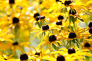 Black-eyed Susans at the Coastal Maine Botanic Garden in Boothbay Harbor, Maine.