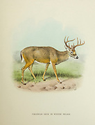 The white-tailed deer (Odocoileus virginianus), also known as the whitetail or Virginia deer, is a medium-sized deer native to North America, Central America, Ecuador, and South America as far south as Peru and Bolivia from the book ' The deer of all lands : a history of the family Cervidae, living and extinct ' by Richard Lydekker, Published in London by Ward 1898