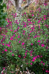 Salvia microphylla 'Cerro Potosí' AGM