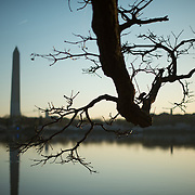 A gnarled old branch looms out over the water of the Tidal Basin, with the Washington Monument in the background.