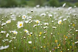 Field of Ox eye daisies.  Leucanthemum vulgare