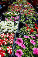 Petunia Bedding planrs, Dolac Flower Market [ Tr?nica Dolac ] , Zagreb, Croatia .<br /> <br /> Visit our CROATIA HISTORIC SITES PHOTO COLLECTIONS for more photos to download or buy as wall art prints https://funkystock.photoshelter.com/gallery-collection/Pictures-Images-of-Croatia-Photos-of-Croatian-Historic-Landmark-Sites/C0000cY_V8uDo_ls