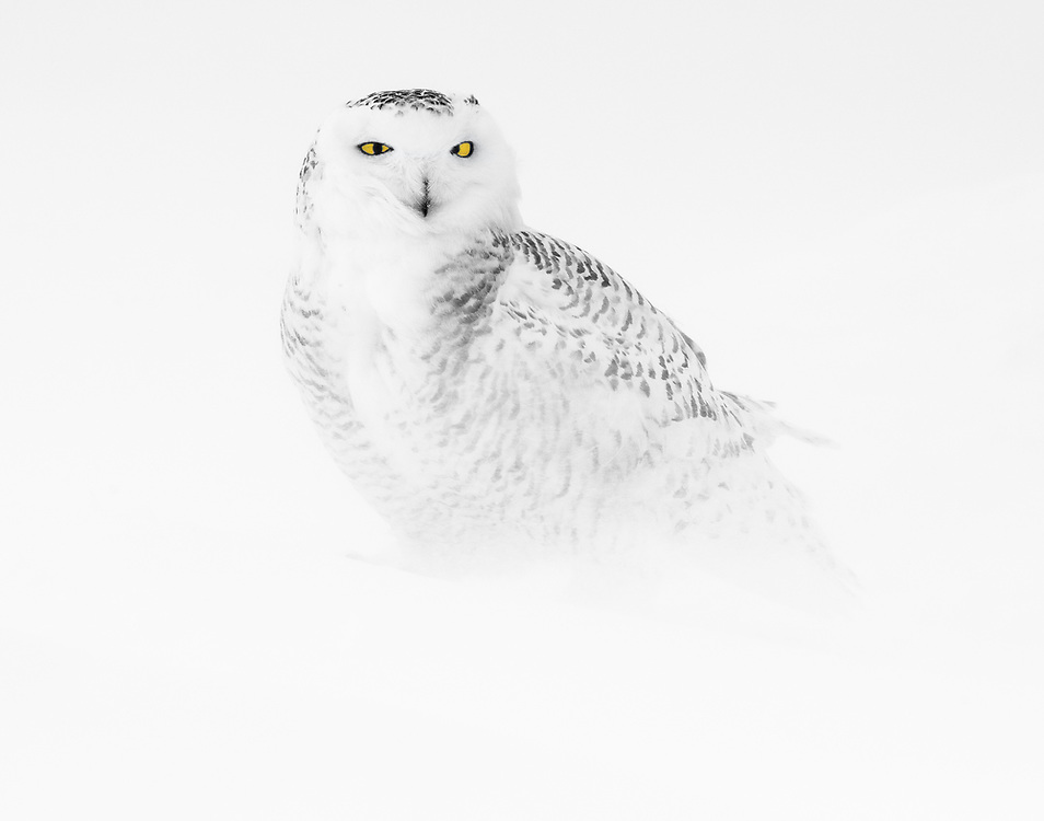 """Snowy owl in the blowing snow.<br /> <br /> Available sizes:<br /> 14"""" x 11"""" print <br /> 14"""" x 11"""" canvas gallery wrap <br /> <br /> See Pricing page for more information. Please contact me for custom sizes and print options including canvas wraps, metal prints, assorted paper options, etc. <br /> <br /> I enjoy working with buyers to help them with all their home and commercial wall art needs."""