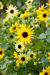 Helianthus debilis mix. H.d. 'Vanilla Ice' with Helianthus annuus 'Sunny Babe' - Sunflower. Sunflowers