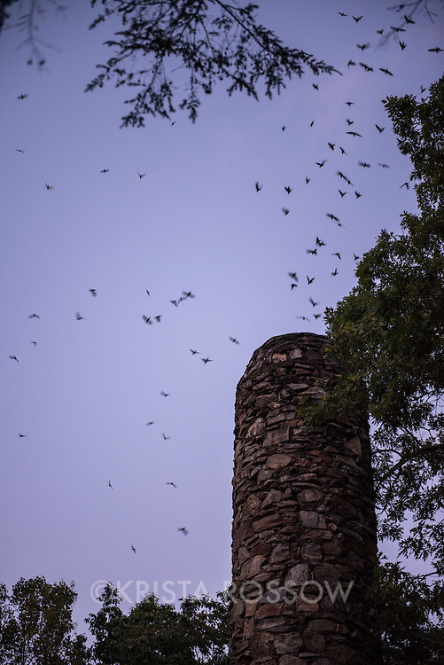 Chimney swifts flying around an old chimney at dusk at the Grovewood Gallery before roosting for the night in Asheville, North Carolina.