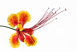 Pride of Barbados tree, caesalpinia pulcherrima #21