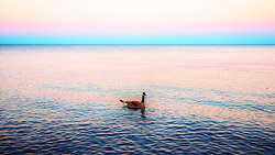 A goose swimming in purple and blue sunset lighting across lake superior.