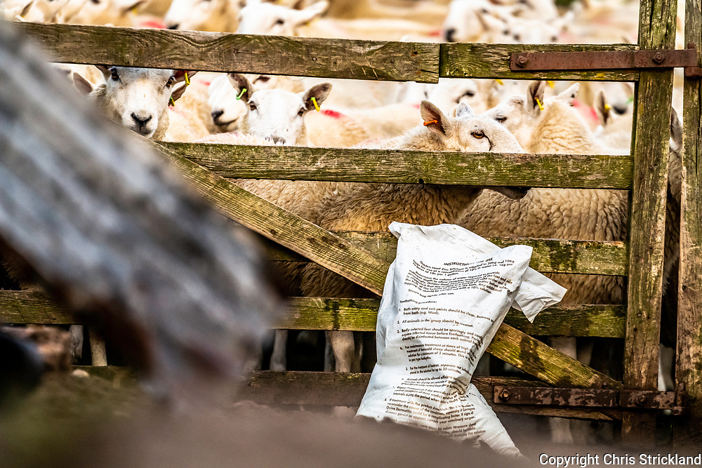 Middlesknowes, Camptown, Jedburgh, Scottish Borders, UK. 26th October 2018. A mixed flock of Cheviot and Black Face sheep are dipped in a medicinal dip to kill and prevent parasites such as blow fly, ticks, and lice.