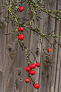 Red crab apples against an old fishing shack on a foggy morning in the quaint fishing harbor in Port Clyde, Maine.