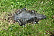 Bob, an American alligator (Alligator mississipiensis) born at without a tail relaxes on land at Alligator Adventure zoo park in Myrtle Beach, SC.