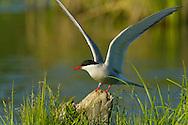 Arctic Tern (Sterna paradisaea) landing on snag, Potter's Marsh, Anchorage, Alaska