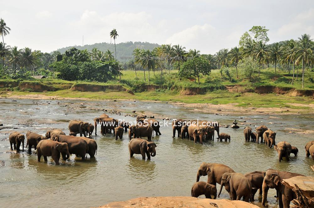 Sri Lanka a herd of work elephants in a river